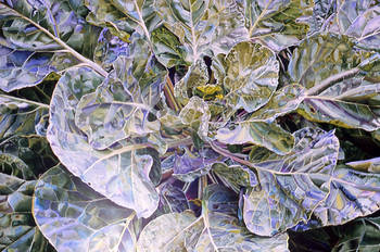 Cabbage Close-up