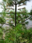 Swarm, Young Pine 3