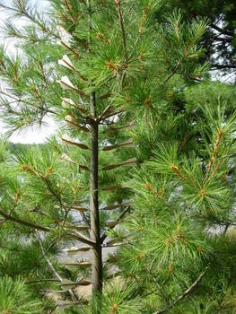 Swarm, Young Pine 5