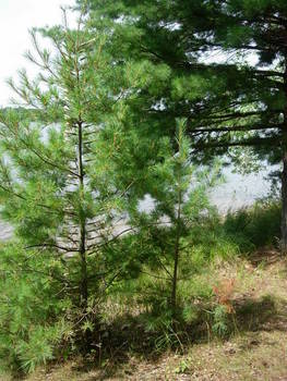 Swarm, Young Pine 6