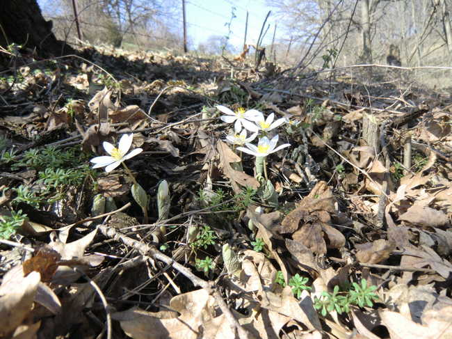Bloodroot above Grotto