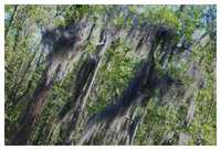 Moss - Draped Cypress Swamp - New Orleans