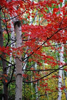 Birch tree w/ red leaves (1)