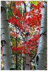 Fall Leaves, Birch Tree